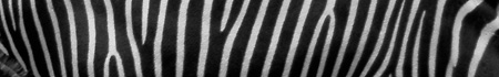 zebra_banner