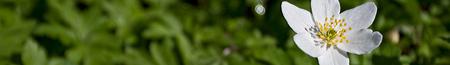 anemone_banner