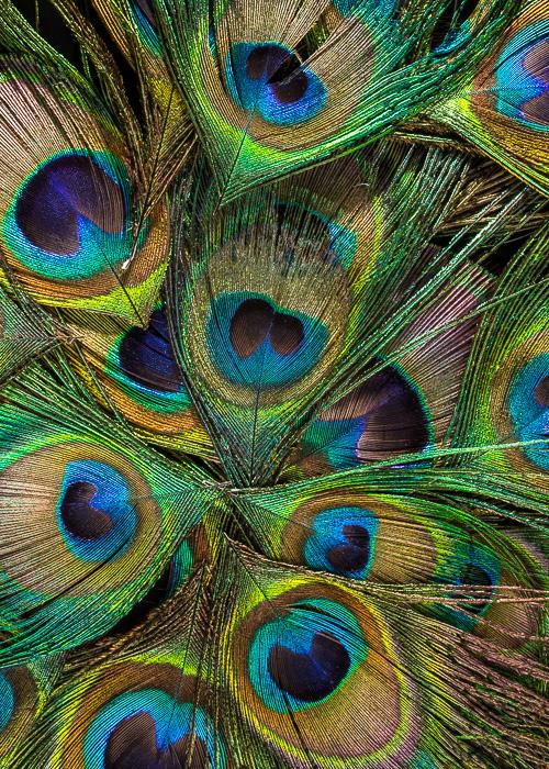 peacock_2